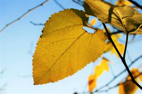 warm yellow warm yellow mulberry leaf free stock photo public domain