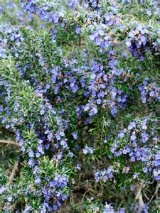 shrub with blue flowers 17 best ideas about blue flowering shrubs on