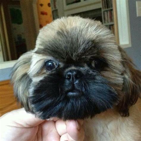 bayview shih tzu 1000 images about shih tzu my on