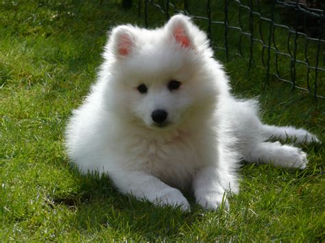 japanese spitz puppies the japanese spitz