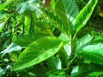 biar pahit manfaat daun afrika sungguh hebat