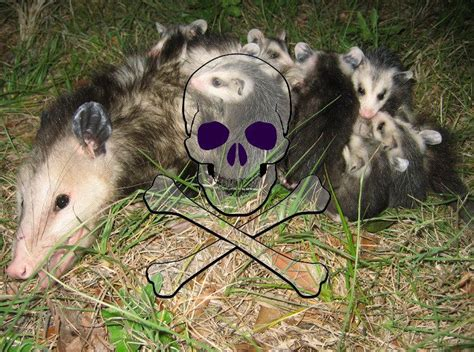 how to get rid of a possum in backyard how to get rid of possums in 11 ways pestwiki