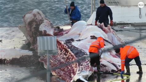 Whaling Is Still Big In Japan by No Whaling This Summer The Reykjavik Grapevine