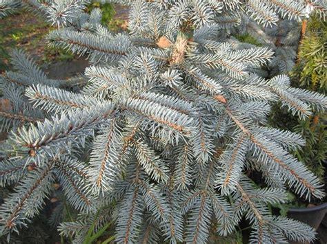 pino nano da giardino abete argentato alberi conifere pino argentato