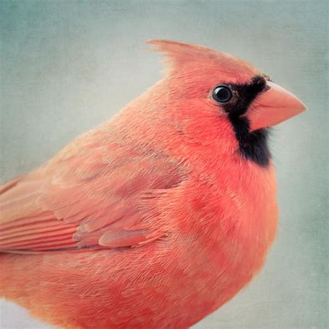 red cardinal bird print bird art animal art print cardinal