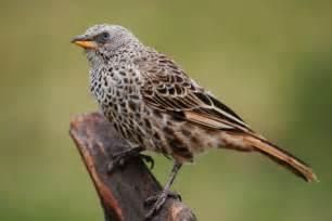 file weaver bird jpg