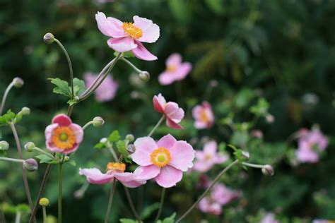 late summer flowers the elegant anemone growing nicely