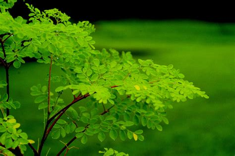Teh Moringa arbol de marango the moringa tree moringa oleifera zoom s edible plants