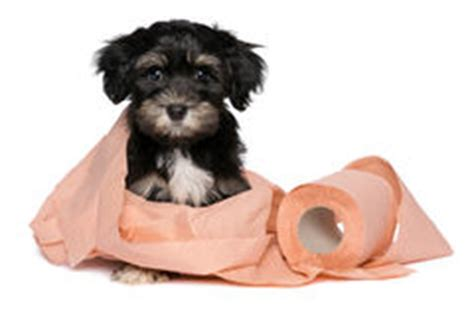 havanese potty problems toilet paper royalty free stock images image 33294409