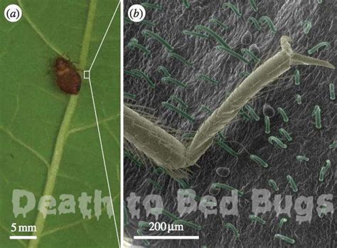 bed bugs cure a natural cure for bed bugs