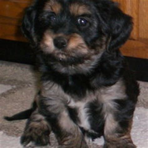 yorkie apso temperament yorkie apso puppies for sale