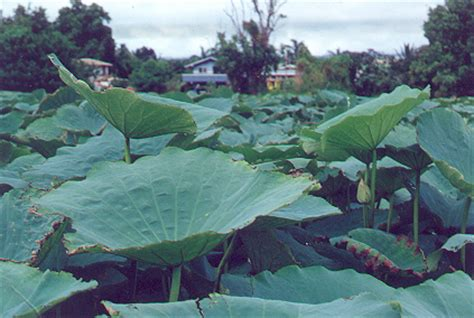 Lian Zi Ekstrak Granules Lotus Seed Nelumbonis Extract Granule lotus herbs