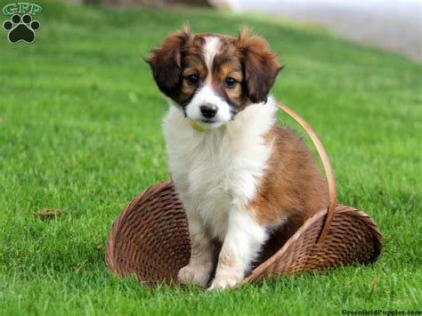 maryland puppies for sale miniature collie mix puppies for sale greenfield puppies