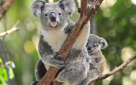wallpaper iphone koala koala full hd wallpaper and background image 1920x1200