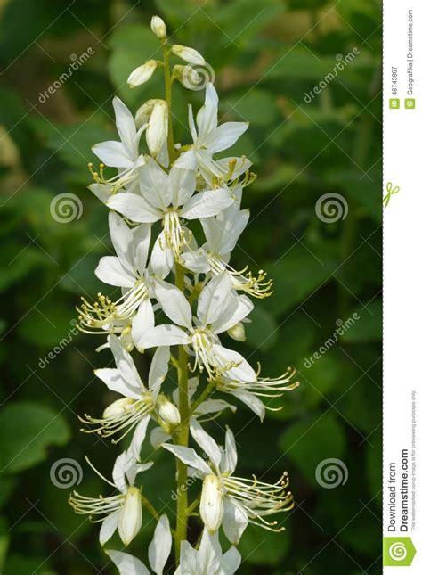 cespuglio con fiori bianchi fiori bianchi albus dictamnus cespuglio bruciante