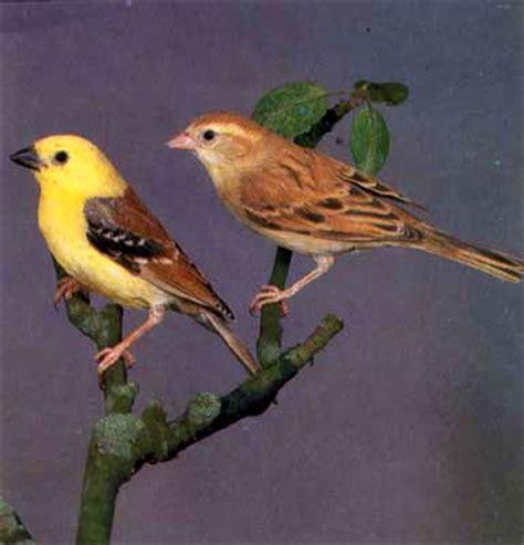 passero alimentazione passero dorato dal dorso marrone uccelli allevamento