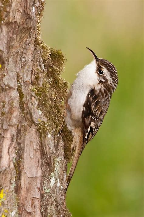 17 best images about brown creeper bird on pinterest