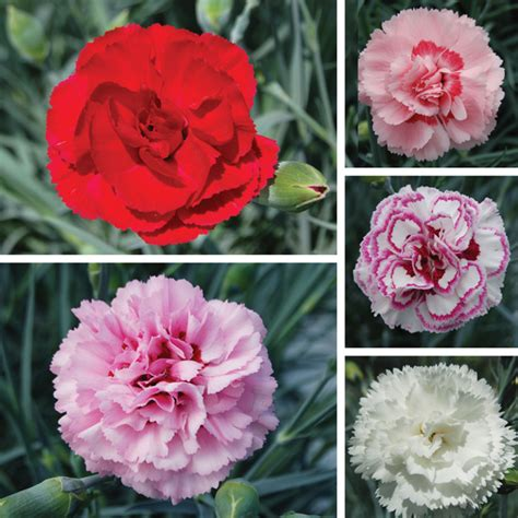 scented garden flowers scented garden pinks flower plant collection d t brown