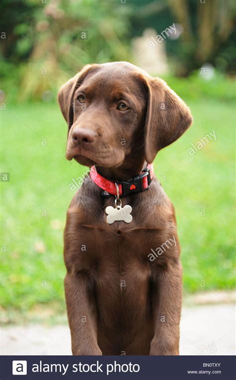 brown labrador puppy chocolate brown labrador retriever puppy stock photo