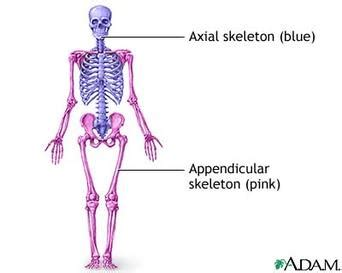 difference between and skeleton diagram what are the two broad divisions of the skeletal system