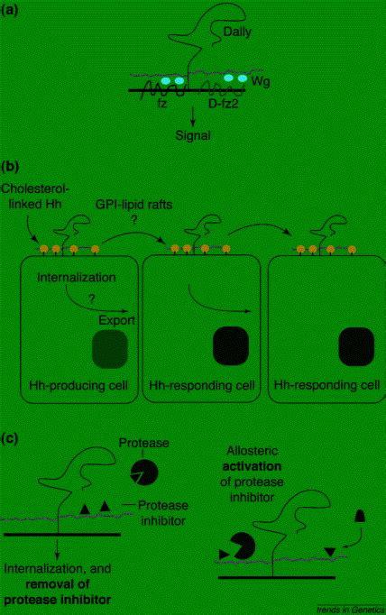wg pattern formation proteoglycans and pattern formation sugar biochemistry