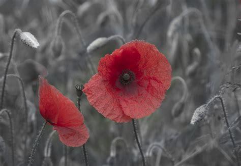 fiore papavero fiore papavero immagine gratis domain pictures