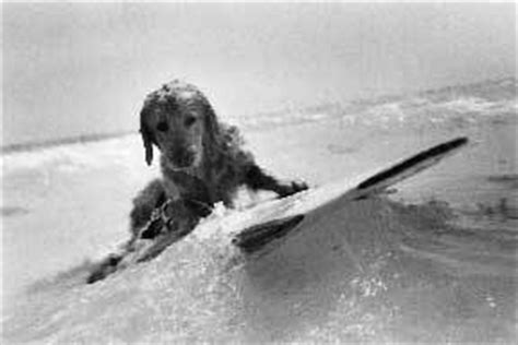bruce weber golden retriever photos 97 best images about golden retrievers swimming on the surf pools