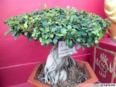 Arrosage Ficus Ginseng by Le Ficus Ginseng Un Bonsa 239 Facile