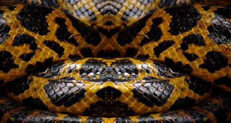 pigmentation pattern formation on snakes snake skin texture color pinterest