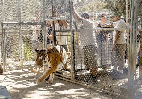 lions tigers returned to sanctuary threatened by wildfire