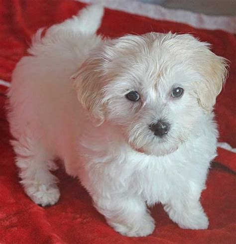 havanese breeders in south florida havanese puppy for sale in boca raton south florida