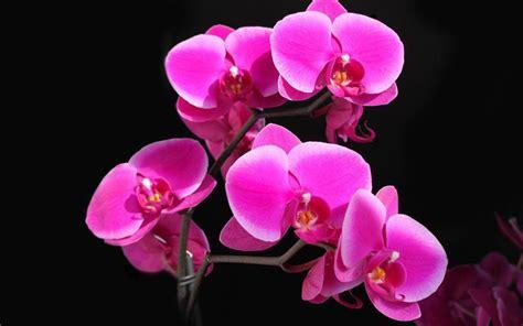 orchidea fiore cura orchidee cura orchidee come curare le orchidee