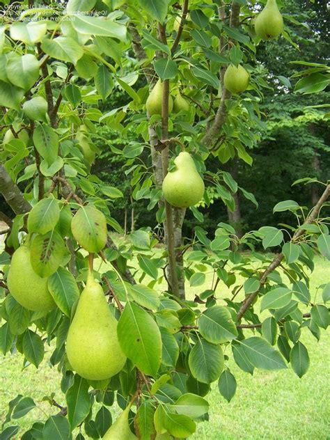ornamental pear tree fruit beginner gardening help with pear tree 1 by julieq