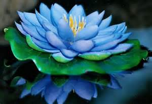 Blue Lotus Blue Lotus Reiki Attunement