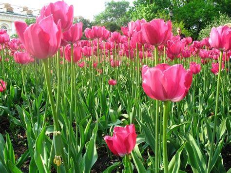 significato dei fiori tulipani significato tulipano significato dei fiori conoscere
