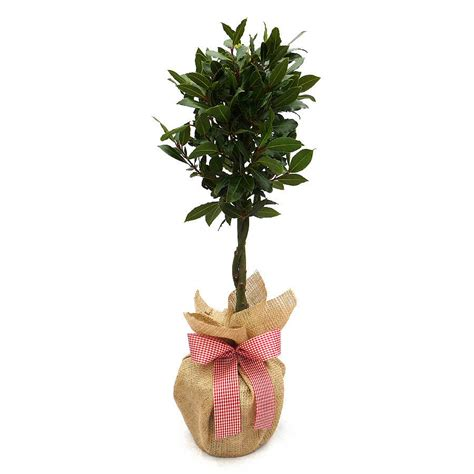 aromatic christmas mini stem bay tree by giftaplant