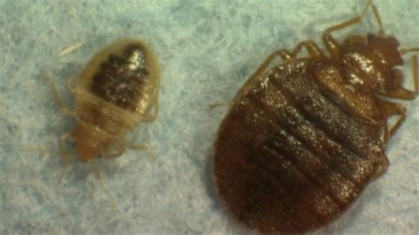 bed bugs new york city bed bugs infest new york city bbc news