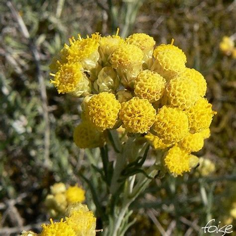 Immortelle Des Sables by Immortelle V 233 G 233 Tal