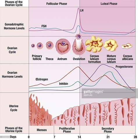 hormone cycle diagram menstrual cycle illustration stock illustration getty images