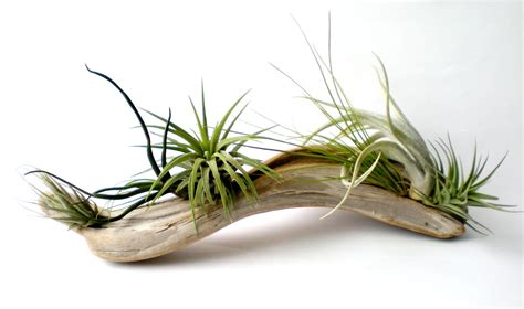 air plants air plants on driftwood mounted tillandsias on by plantzilla