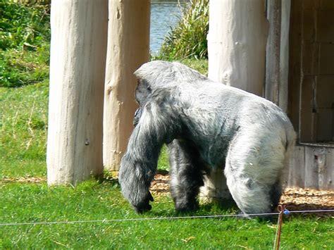 File:Nico the Gorilla, Gorilla Island, Longleat Safari ...