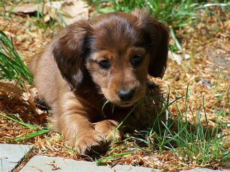 dachshund puppies kansas miniature dachshund puppies in kansas city mo 4k wallpapers