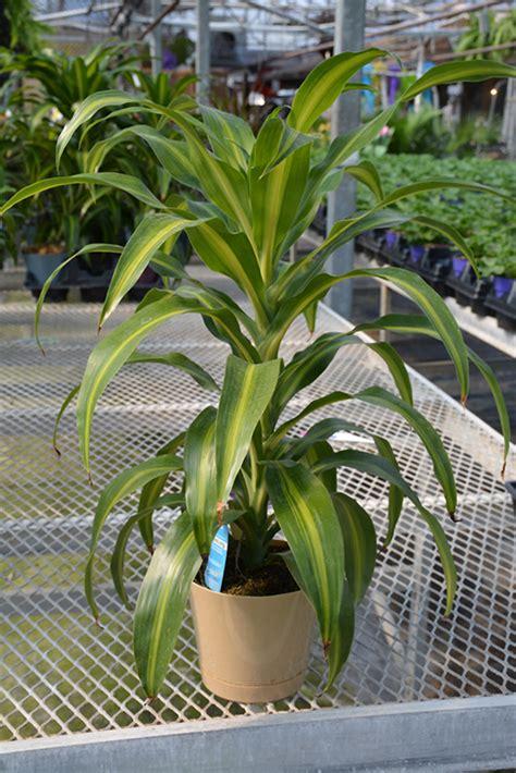 hawaiian sunshine dracaena dracaena fragrans hawaiian