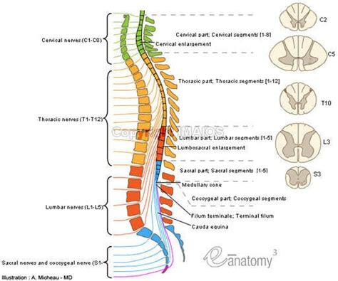 back diagram anatomy of the spinal cord
