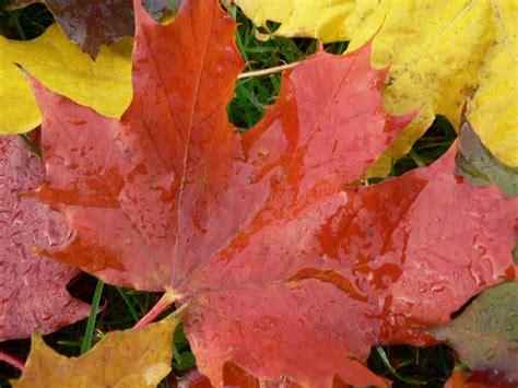 file maple leaf autumn jpg file autumn big maple leaves jpg wikimedia commons