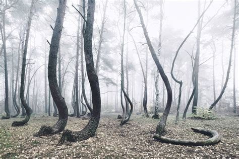 crooked forest poland a mystical forest of 400 oddly bent trees growing in poland