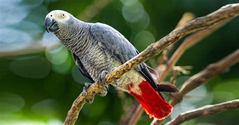 gabbia cenerino il cenerino un pappagallo molto intelligente terenziani