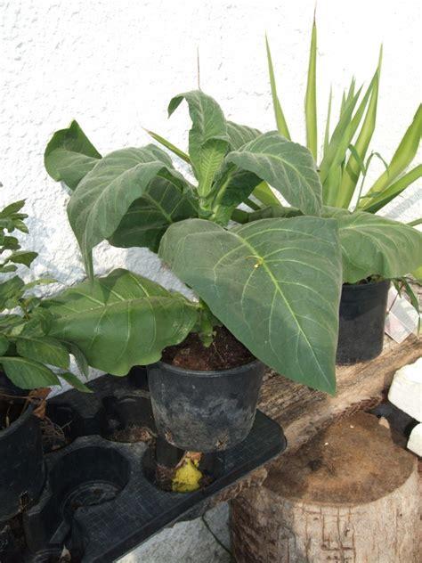 l orto di casa come coltivare il tabacco il giardino e l orto di