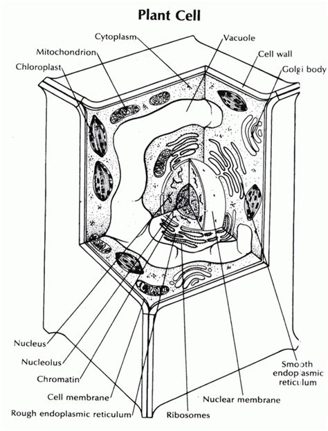Plant Cell Coloring Pages Coloring Home Cells Coloring Pages