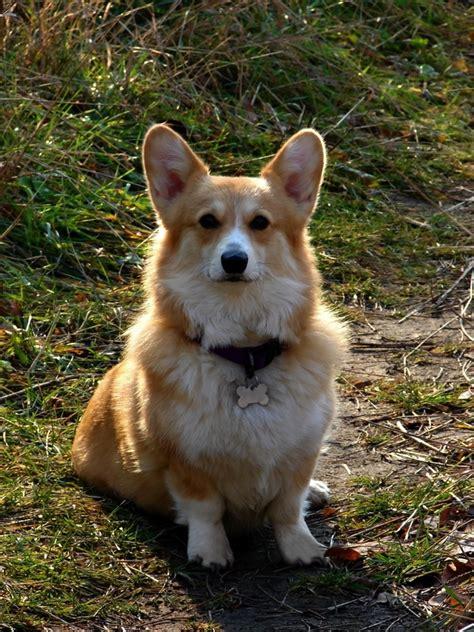 corgi puppies nyc akc pembroke corgi puppies in new york new york daily breeds picture
